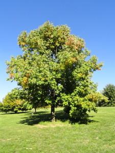 Fraxinus_americana_-_University_of_Kentucky_Arboretum_-_DSC09337